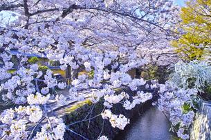 春の京都、満開の桜咲く哲学の道からみた景色の写真素材 [FYI01224888]