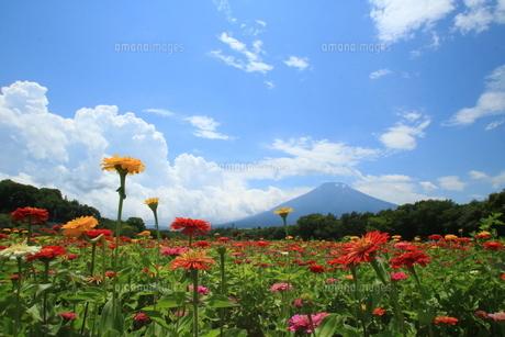 富士山と色とりどりの百日草の写真素材 [FYI01224966]