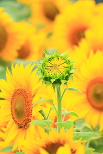 ひまわり畑の写真素材 [FYI01224969]