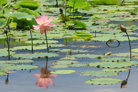 水面に映る蓮の花の写真素材 [FYI01224972]