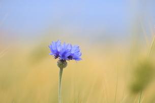 小麦畑の矢車草の写真素材 [FYI01224990]