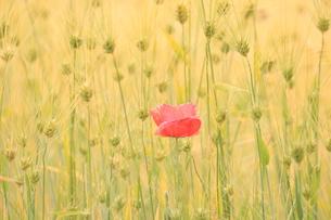 小麦畑のポピーの写真素材 [FYI01224996]