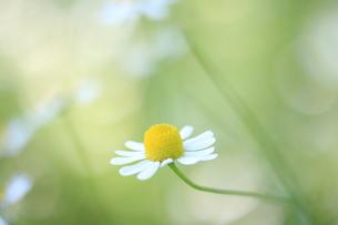 ふんわりカモミールの写真素材 [FYI01224998]