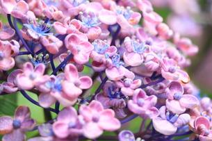 初夏のお多福紫陽花の写真素材 [FYI01224999]