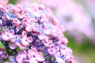 初夏のお多福紫陽花の写真素材 [FYI01225001]