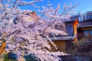 春の京都、満開の桜咲く祇園白川の風景の写真素材 [FYI01225140]
