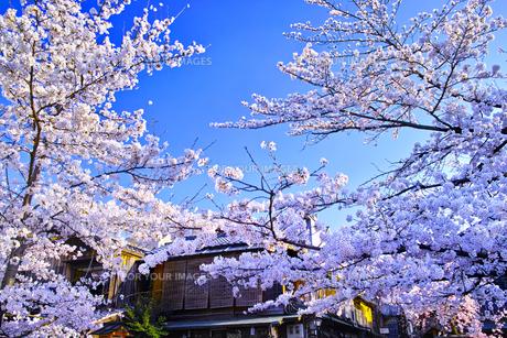 春の京都、満開の桜咲く祇園白川の風景の写真素材 [FYI01225143]