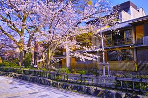 春の京都、満開の桜咲く祇園白川の風景の写真素材 [FYI01225147]
