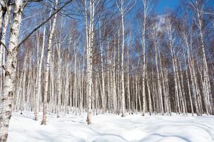 冬のシラカバ林の写真素材 [FYI01225284]