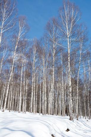 冬のシラカバ林の写真素材 [FYI01225285]