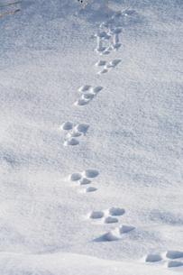 雪の上の野生動物の足跡の写真素材 [FYI01225287]