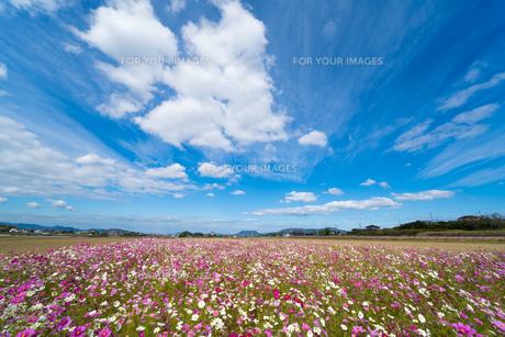 コスモス畑と青空(香川県三木町)の写真素材 [FYI01225490]