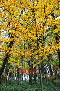 明るい雑木林の黄葉の写真素材 [FYI01225681]