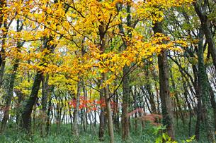 明るい雑木林の黄葉の写真素材 [FYI01225682]