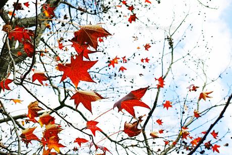 枝に残ったモミジバフウの葉の写真素材 [FYI01225739]