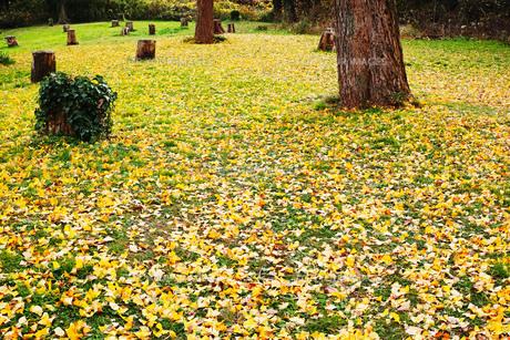 銀杏の木の黄色い落葉と切り株がある広場の写真素材 [FYI01225740]