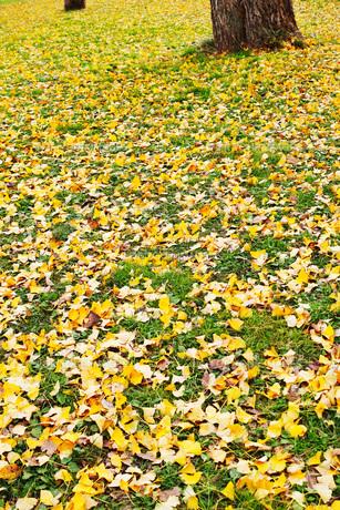 銀杏の木と黄色い落葉がある広場の写真素材 [FYI01225741]