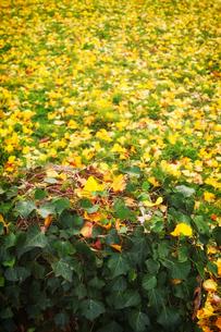 ツタが覆う切り株と銀杏の黄色い落葉がある広場の写真素材 [FYI01225742]