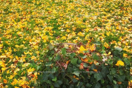 ツタが覆う切り株と銀杏の黄色い落葉がある広場の写真素材 [FYI01225743]