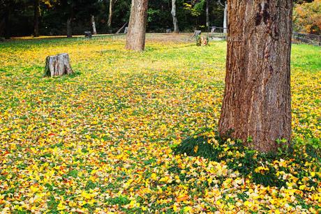 銀杏の木の黄色い落葉と切り株がある広場の写真素材 [FYI01225744]