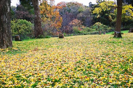 銀杏の木の黄色い落葉と切り株がある広場の風景の写真素材 [FYI01225746]
