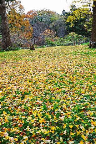 銀杏の木の黄色い落葉と切り株がある広場の風景の写真素材 [FYI01225747]