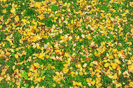 緑の草地に散った銀杏の黄色い落葉の写真素材 [FYI01225748]