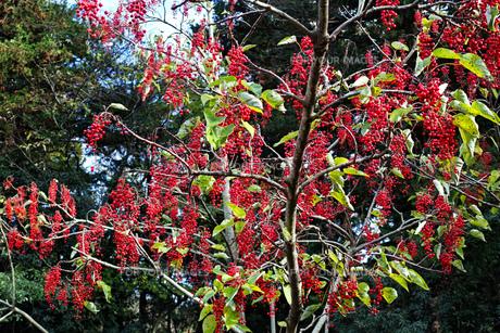 赤い実をたくさんつけたイイギリの木の写真素材 [FYI01225750]