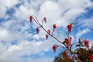 赤い実をたくさんつけたイイギリの枝と雲のある青空の写真素材 [FYI01225751]