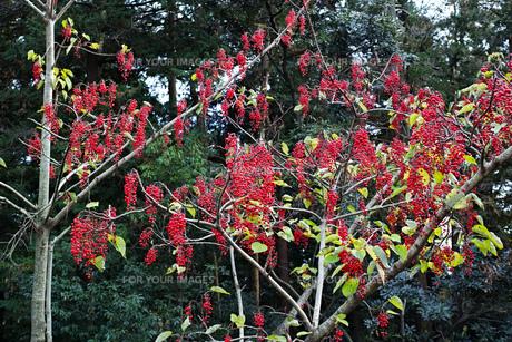 赤い実をたくさんつけたイイギリの木の写真素材 [FYI01225752]