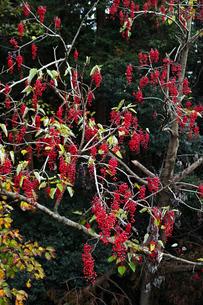 赤い実をたくさんつけたイイギリの木の写真素材 [FYI01225756]