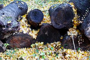 銀杏の木の下にある丸太の写真素材 [FYI01225763]