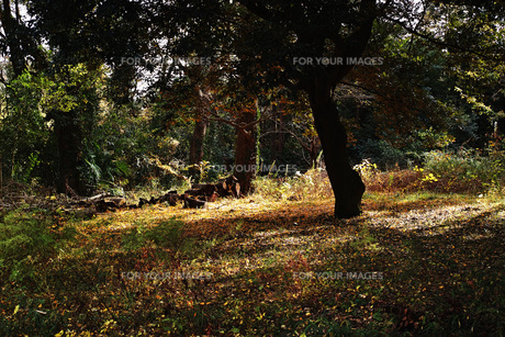 木漏れ日が照らす雑木林の写真素材 [FYI01225766]