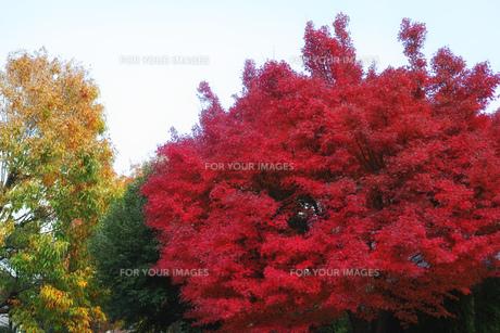 真っ赤に色づいたモミジの街路樹の写真素材 [FYI01225769]