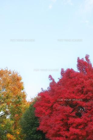 真っ赤に色づいたモミジの街路樹の写真素材 [FYI01225770]
