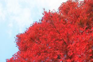 真っ赤に色づいたモミジの紅葉の写真素材 [FYI01225772]