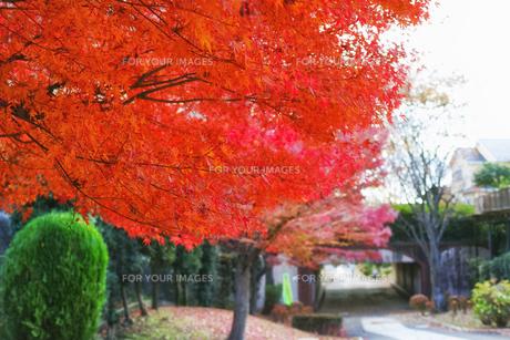 真っ赤に色付いたモミジの紅葉と遊歩道の写真素材 [FYI01225773]