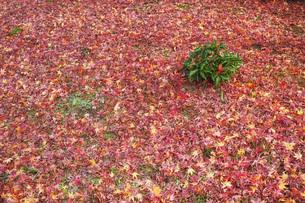 地面を覆うモミジの落ち葉の写真素材 [FYI01225774]