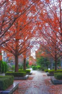 紅葉したメタセコイアがある美しい遊歩道の写真素材 [FYI01225775]