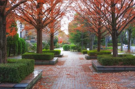 紅葉したメタセコイアがある美しい遊歩道の写真素材 [FYI01225776]