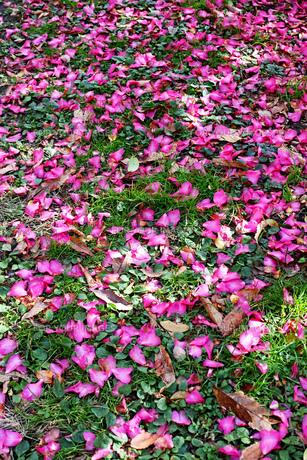 草の生えた地面に落ちた濃いピンクのサザンカの花びらの写真素材 [FYI01225791]