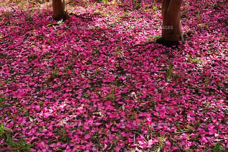 草の生えた地面に落ちた濃いピンクのサザンカの花びらの写真素材 [FYI01225792]