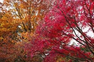茶色に色付くブナ科樹木と赤く色付くモミジの紅葉の写真素材 [FYI01225793]