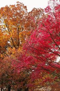 茶色に色付くブナ科樹木と赤く色付くモミジの紅葉の写真素材 [FYI01225794]