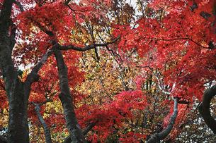 赤く色付くモミジの紅葉の写真素材 [FYI01225795]