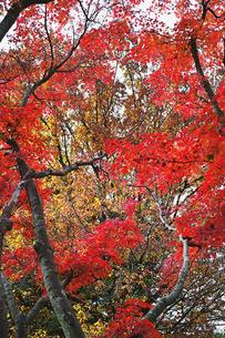 赤く色付くモミジの紅葉の写真素材 [FYI01225799]