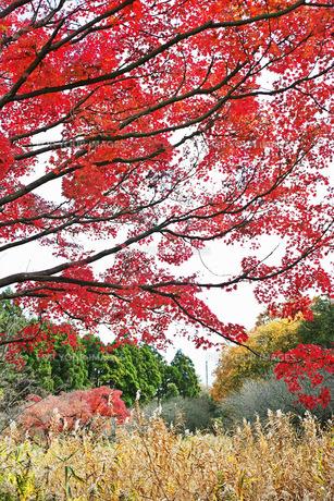 赤く色付くモミジの紅葉の写真素材 [FYI01225807]