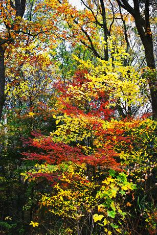 雑木林の中の美しい紅葉の写真素材 [FYI01225808]