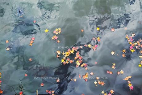 池の水面に浮かぶ色付いたモミジの落ち葉の写真素材 [FYI01225809]