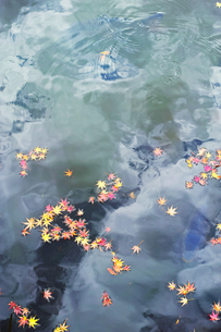 池の水面に浮かぶ色付いたモミジの落ち葉の写真素材 [FYI01225810]